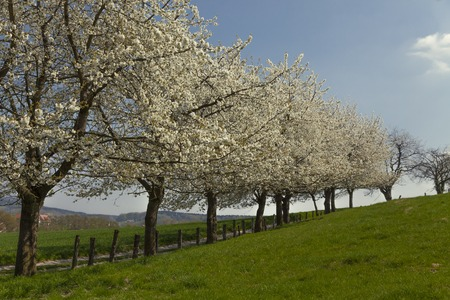 copse: Blossoming cherry trees in Hagen, Osnabrueck country, Germany Stock Photo