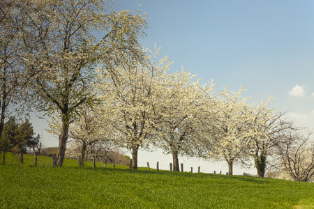 broad leaved tree: Blossoming cherry trees in Hagen, Osnabrueck country, Germany Stock Photo