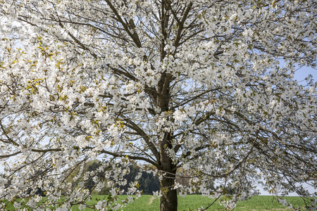 broad leaved tree: Blossoming cherry tree in Hagen, Osnabrueck country, Germany, Europe