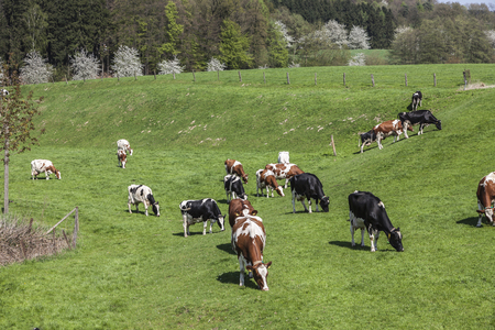 grazing land: Grazing cows in spring, Holperdorp, Tecklenburger Land, North Rhine-Westphalia, Germany, Europe