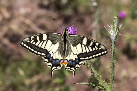 papilio: Papilio machaon Schwalbenschwanz  Papilio machaon Swallowtail butterfly from Italy Europe
