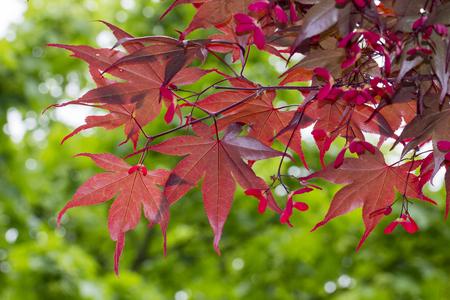 acer palmatum: Acer palmatum Japanese maple Smooth japanese maple in Germany Europe