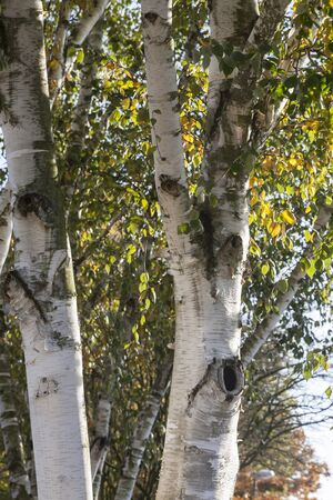 european white birch: Birch tree Betula in autumn Lower Saxony Germany Europe Stock Photo