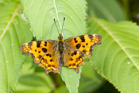 nymphalis: Nymphalis calbum Polygonia calbum Comma butterfly from Germany Europe