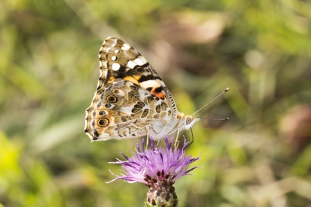 vanessa: Vanessa cardui Painted Lady butterfly from Lower Saxony Germany Europe