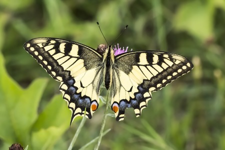 Papilio machaon Swallowtail butterfly from Lower Saxony Germany Europe