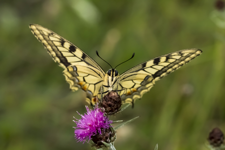 papilio: Papilio machaon Swallowtail butterfly from Lower Saxony Germany Europe