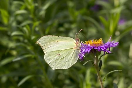 rhamni: Gonepteryx rhamni Common Brimstone Brimstone on Aster flower Germany Europe