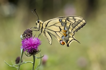 machaon: Papilio machaon Swallowtail butterfly from Lower Saxony Germany
