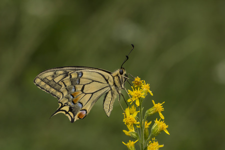 papilio: Papilio machaon Swallowtail butterfly from Lower Saxony Germany