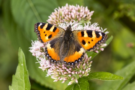 nymphalis: Aglais urticae Nymphalis urticae Small Tortoiseshell on Hempagrimony Eupatorium cannabinum Lower Saxony Germany