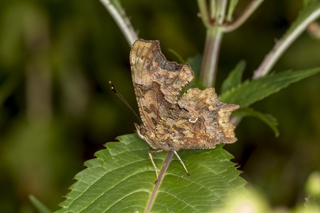 nymphalis: Nymphalis calbum Polygonia calbum Comma butterfly from Germany