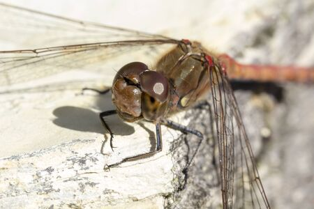 sympetrum: Sympetrum striolatum Common darter dragonfly from Lower Saxony Germany Europe Stock Photo