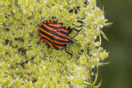 graphosoma: Graphosoma lineatum Shield bug from Lower Saxony Germany