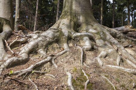 broadleaved tree: Tree roots in Lower Saxony Germany Europe