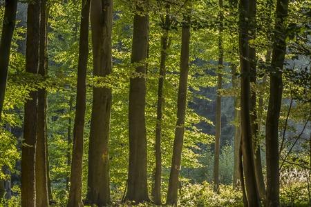 broadleaved tree: Laubwald bei Holsten-Mündrup, Georgsmarienhütte, Osnabrücker Land, Niedersachsen - Deciduous forest in Lower Saxony, Germany Stock Photo
