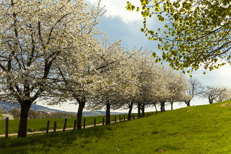 broadleaved tree: Blossoming cherry trees in Hagen Osnabrueck country Germany