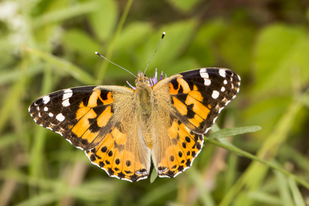 vanessa: Vanessa cardui Painted Lady butterfly from Lower Saxony Germany Stock Photo