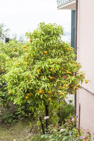 small town life: Orange tree in Tellaro ligurian coast Liguria Italy Stock Photo
