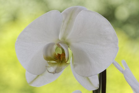 orchid house: White Phalaenopsis hybrid orchid house plant in Germany Stock Photo