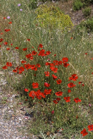 papaver rhoeas: Papaver rhoeas Corn Poppy from Europe other names are Corn Rose Field Poppy Flanders Poppy Red Poppy Red Weed Coquelicot
