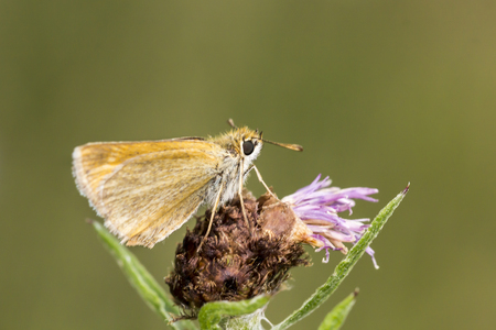 skipper: Thymelicus acteon Lulworth Skipper butterfly from Lower Saxony Germany