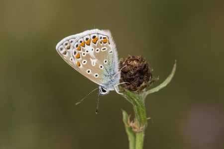 common blue: Polyommatus icarus Common Blue butterfly from Lower Saxony Germany Europe
