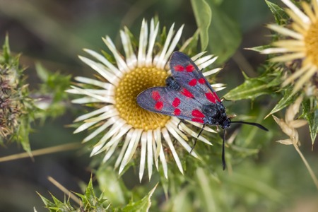 zygaena: Zygaena filipendulae Sixspot Burnet butterfly on Carline thistle Carlina vulgaris from Lower Saxony Germany Europe Stock Photo
