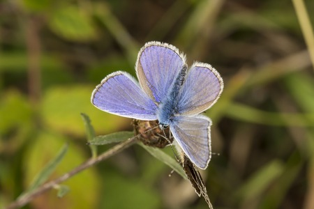 polyommatus icarus: Polyommatus icarus Common Blue butterfly from Lower Saxony Germany Europe