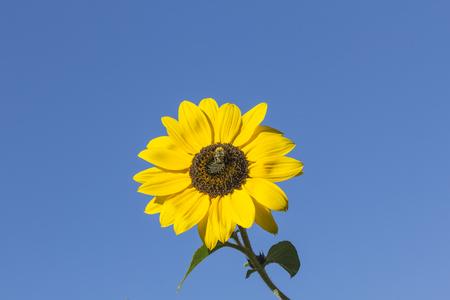helianthus: Helianthus annuus Sunflower in Lower Saxony Germany Europe