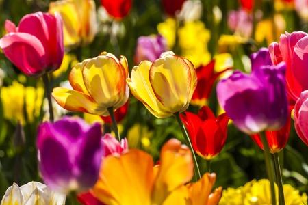 tulipan: Pola tulipanów wiosną, Dolna Saksonia, Niemcy Europa Zdjęcie Seryjne