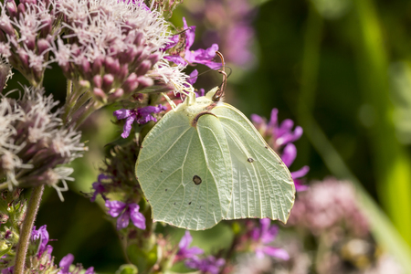 gonepteryx rhamni: Gonepteryx rhamni, Common Brimstone, Brimstone on Hemp-agrimony, Eupatorium cannabinum, Germany, Europe Stock Photo