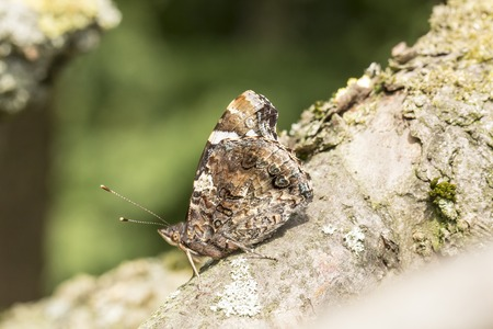 admiral: Vanessa atalanta, Red Admiral on a tree in Germany