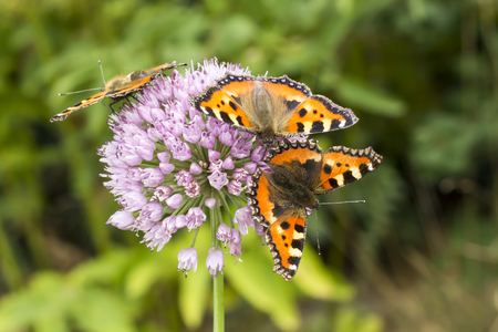 nymphalis: Aglais urticae, Nymphalis urticae, Small Tortoiseshell on Allium, Leek flower, Lower Saxony, Germany