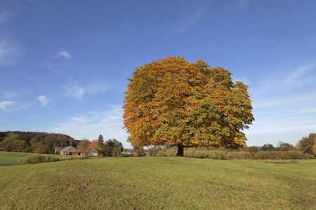 broadleaved tree: Horse chestnut tree Aesculus hippocastanum Conker tree in autumn, Lengerich, North Rhine-Westphalia, Germany, Europe