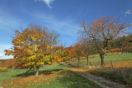 acer platanoides: Acer platanoides, Norway maple in autumn cherry trees on the right, Hagen, Osnabrueck country, Lower Saxony, Germany