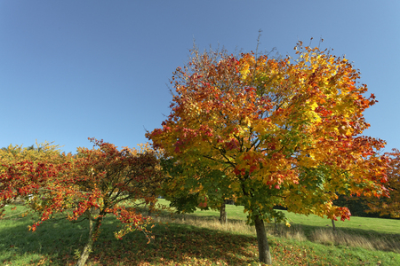 acer: Acer platanoides, Norway maple in autumn, Hagen, Lower Saxony, Germany