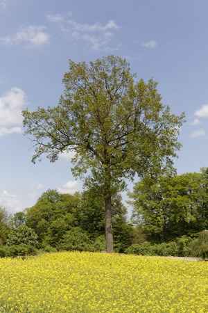 broadleaved tree: Rape field with trees in May, Hilter, Osnabrueck country region,  Germany, Europe Stock Photo