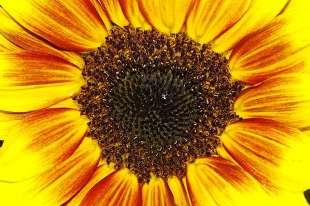 helianthus: Sunflower (Helianthus annuus Merida Bicolor) Stock Photo