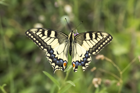 machaon: Papilio machaon, Swallowtail butterfly from Lower Saxony, Germany
