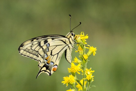 papilio: Papilio machaon, Swallowtail butterfly from Lower Saxony, Germany, Europe