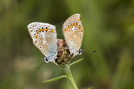 common blue: Polyommatus icarus Common Blue butterfly from Lower Saxony, Germany Stock Photo