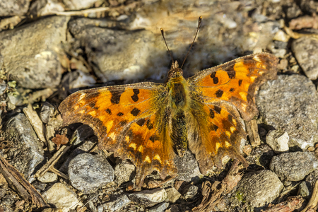 nymphalis: Comma butterfly Nymphalis c-album, Polygonia c-album from Germany, Europe Stock Photo