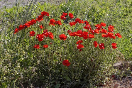 papaver rhoeas: Corn Poppy Papaver rhoeas, Corn rose, Field Poppy, Flanders Poppy, Red Poppy, Red Weed, Coquelicot