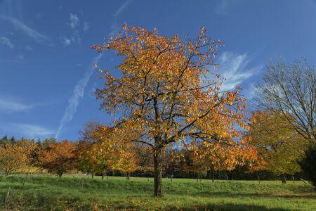 broadleaved tree: Cherry trees in autumn, Hagen, Germany, Europe Stock Photo