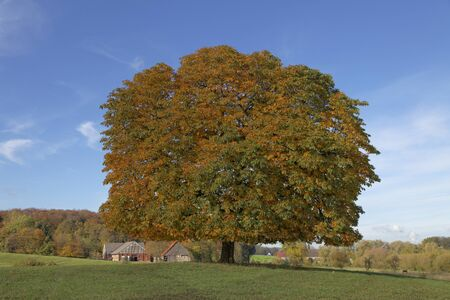 conker: Horse chestnut tree Aesculus hippocastanum conker tree in autumn, Lengerich, North Rhine-Westphalia, Germany, Europe