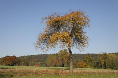 broadleaved tree: Cherry tree in October, North Rhine-Westphalia, Germany, Europe