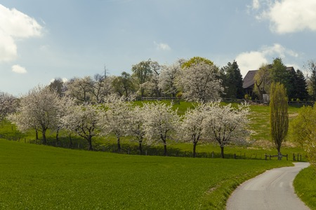 broadleaved tree: Blossoming cherry trees in Hagen, Osnabrck country, Germany, Europe Stock Photo