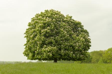 albero di ippocastano Aesculus hippocastanum a maggio, Lengerich, Renania settentrionale-Westfalia, Germania, Europa