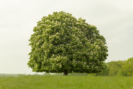 Horse chestnut tree Aesculus hippocastanum in May, Lengerich, North Rhine-Westphalia, Germany, Europe Banco de Imagens